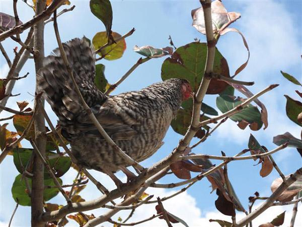 Rääkyvä kana puussa