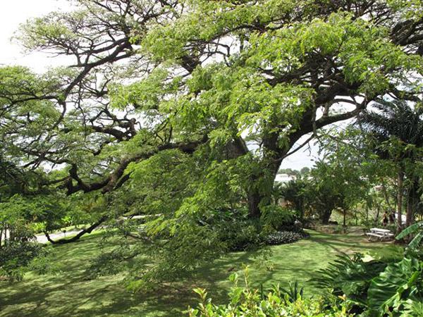 St. Kittsin vihkimispuu