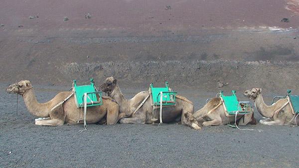 Väsynyt kameli